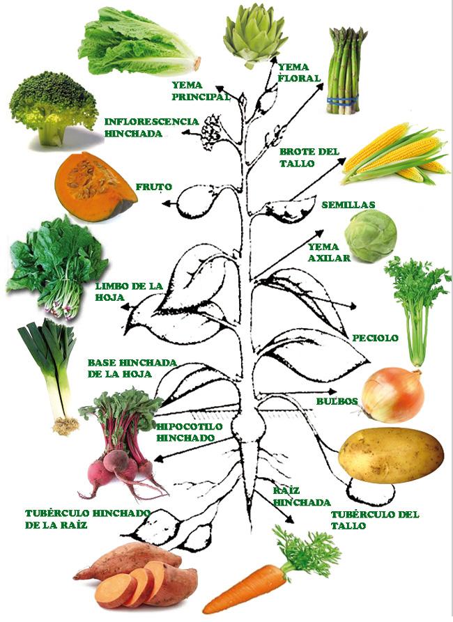 Aprendamos Horticultura  Clasificacin de las hortalizas